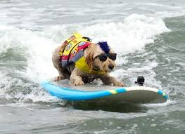 Dog Surfing on Surfboard with Sunglasses on