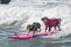 Two Dogs on a surfboard surfing tandem